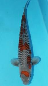 383-TT koi amalang - yung koi - malang - kawarimono - 55cm male
