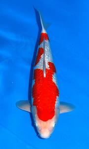 019-Marvin - Ginrin A 50 cm - Import - Female - Jambi -handling Republik Gading Koi