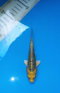251-jimmy-Faiz Bintang Koi-surabaya-hikari mujimoni-12cm -